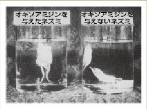 オキソアミヂンによって持久力が上がり、衰え知らずの肉体を手に入れることができる