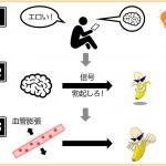 「エロいモノ」を見ると脳に興奮の信号が届き、信号を受けた脳はペニスに「勃起しろ!」という信号を送る。その結果ペニスの血管が膨張し、ペニスが勃起する。