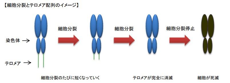 細胞分裂の度に減りゆくテロメア