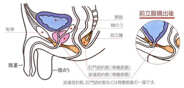 肛門括約筋・尿道括約筋の場所