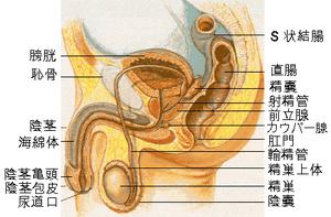 股間の断面図